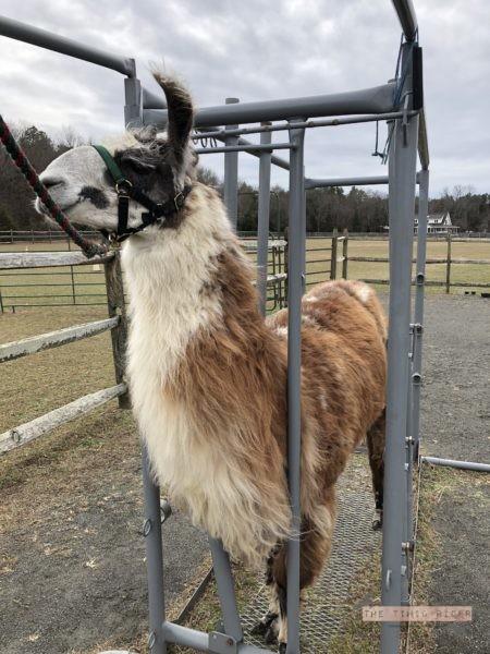 Llama Massage Heather Wallace