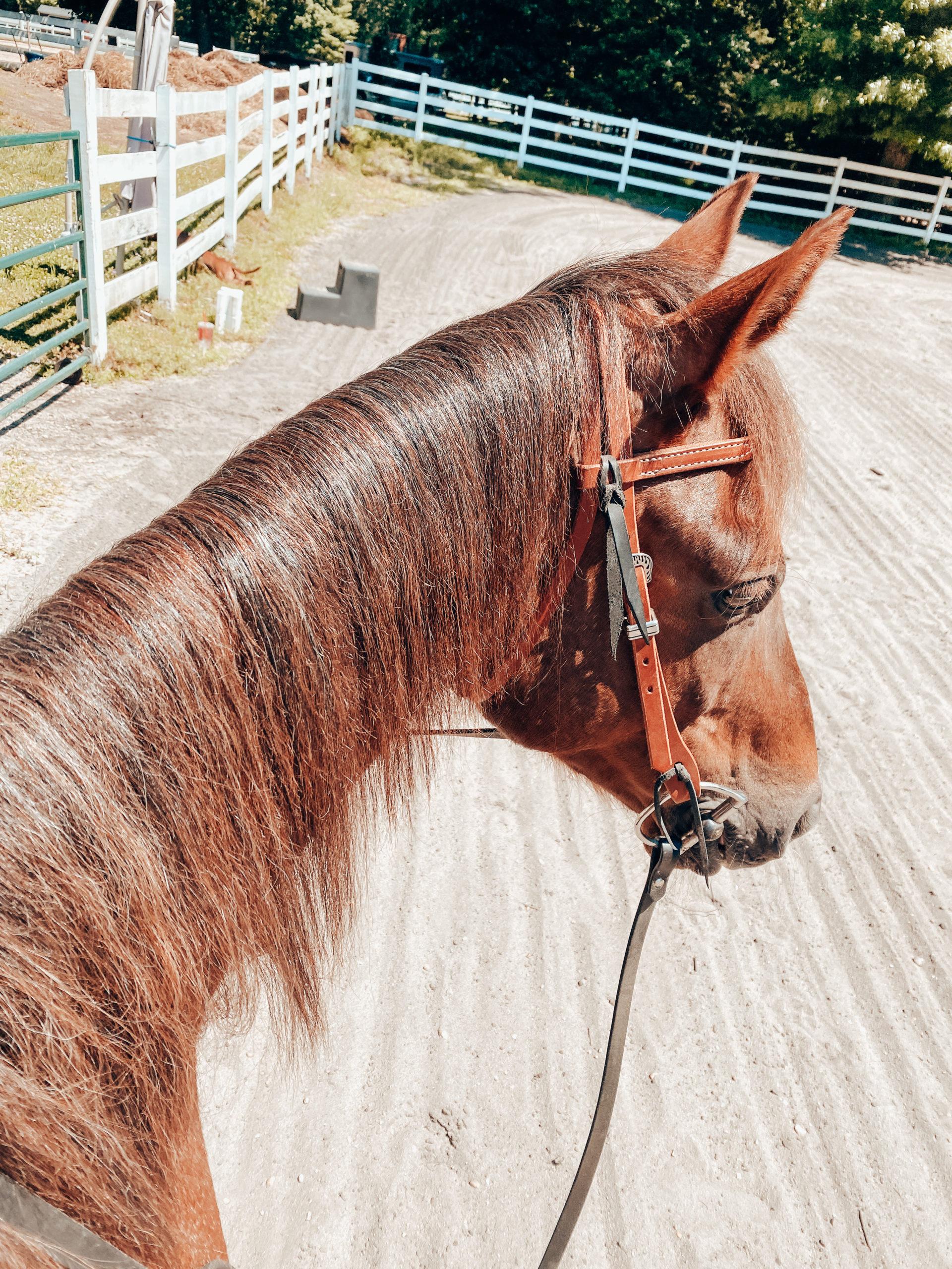 Detangler Product Review Horse